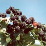 Описание сорта малины Дар Сибири