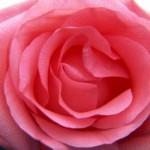 Описание сорта розы Далос