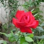 Описание сорта розы Жаме вю