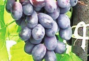 foto-sorta-vinograda-loza-goryanki