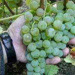 Описание сорта винограда Любава