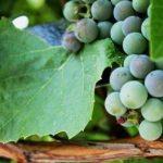 Описание сорта винограда Маныч