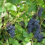 Описание сорта винограда Московский черный