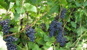 foto-sorta-vinograda-moskovskij-chernyj