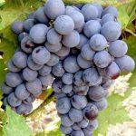 Описание сорта винограда Муромец