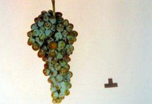 foto-sorta-vinograda-muskat-aksajskij