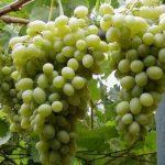 Описание сорта винограда Мускат московский