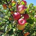 Описание сорта яблони Чара (Юбилейное)