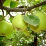 Описание сорта яблони Черкасское урожайное