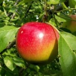 Описание сорта яблони Черноморское летнее