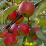 Описание сорта яблони Дедушкино
