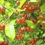 Описание сорта яблони Добрыня