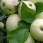 Описание сорта яблони Дочь Папировки