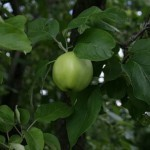 Описание сорта яблони Долинское