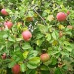 Описание сорта яблони Ефремовское