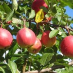 Описание сорта яблони Экранное