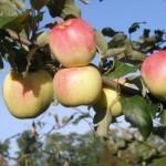 Описание сорта яблони Ермаковское горное