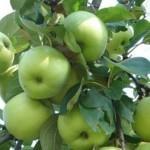 Описание сорта яблони Феникс алтайский