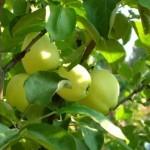 Описание сорта яблони Фонарик