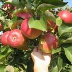 Описание сорта яблони Корей