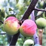 Описание сорта яблони Ковровое