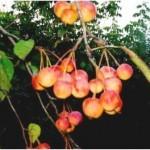 Описание сорта яблони Краса степи