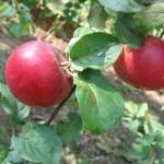 Описание сорта яблони Краса Свердловска