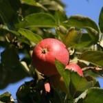 Описание сорта яблони Красная горка