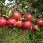Описание сорта яблони Красная гроздь