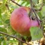 Описание сорта яблони Крупное Ртищева