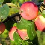 Описание сорта яблони Лалетино