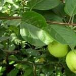 Описание сорта яблони Лебединая песня (Любава)