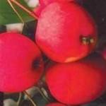 Описание сорта яблони Лойко
