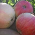 Описание сорта яблони Мальт багаевский