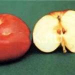 Описание сорта яблони Малыченковское (Молодежное)