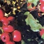 Описание сорта яблони Мана