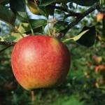 Описание сорта яблони Марина