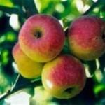 Описание сорта яблони Мартьяновское (Саянское)