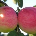 Описание сорта яблони Мелба красная