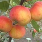 Описание сорта яблони Миасское