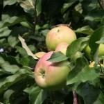 Описание сорта яблони Налив амурский