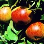 Описание сорта яблони Осенняя радость