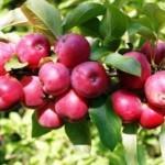 Описание сорта яблони Осенняя радость Алтая