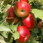 Описание сорта яблони Останкино