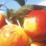 Описание сорта яблони Пальметта