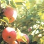 Описание сорта яблони Память Сергееву