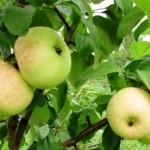 Описание сорта яблони Память Жаворонкова