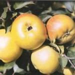 Описание сорта яблони Пепин лондонский (Кальвиль королевский, Царский кальвиль)