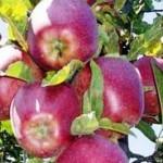 Описание сорта яблони Пламя Эльбруса