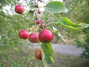 Сорт яблони Подарок Графскому 56